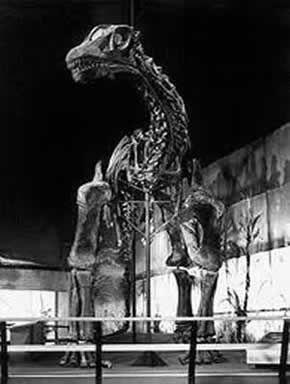 Haplocanthosaurio
